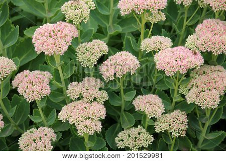 Showy stonecrop flowers (Sedum spectabile or Hylotelephium spectabile) on flowerbed