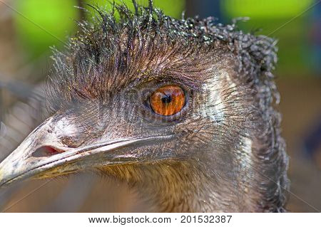 Emus head, big brown eyes and strong beak. Close-up
