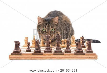 Brown tabby cat looking across chess board, carefully contemplating her next move, isolated on white