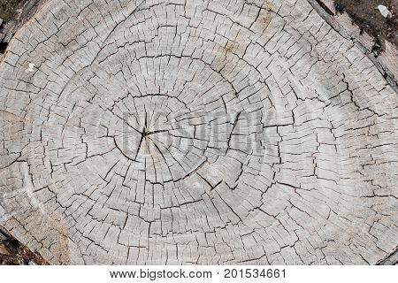 Weathered and cracked old gray tree trunk surface with annual rings close-up as background. View from above