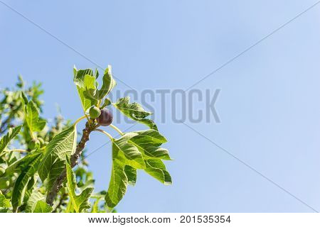 View on beautiful Green Figs in Sunlight. Close-up of growing Figs in front of a blue sky. Natural Background.