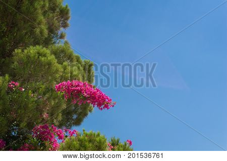 Close-up of a green Coniferous Tree in front of a blue sky. View on beautiful purple Flowers of a Coniferous Tree on a sunny Day. Nature Background.