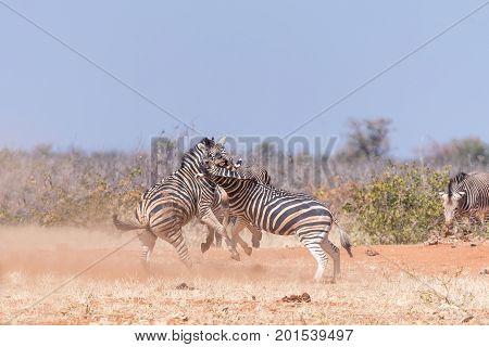 Three Burchells Zebra stallions fighting in North-Western Namibia.