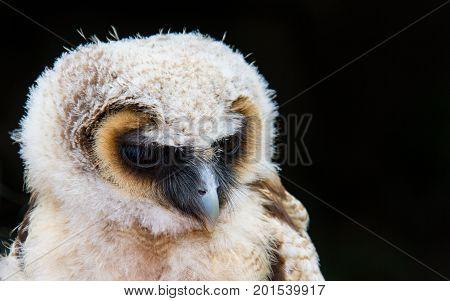 Owl Bird Of Prey Against Black Background Close-up En Face