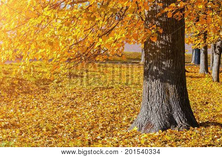 Autumn landscape of sunny October autumn park in nice weather - spreading autumn tree with fallen autumn leaves under sunlight. Bright autumn landscape view of park autumn tree in sunny autumn evening