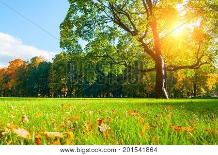 Autumn landscape with autumn tree in city autumn park under soft sunlight. Sunny autumn landscape of autumn park with golden autumn maple tree and sunlight breaking through the autumn branches.