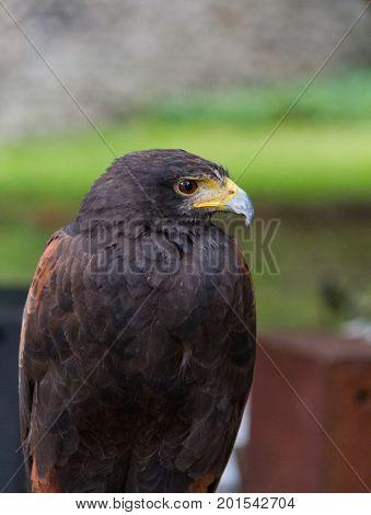 Golden Eagle Bird Of Prey Close-up Portrait