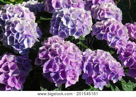 Closeup of a group purple Hortensia flowers