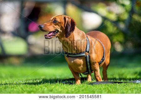 Dachshund dog in outdoor. Cute dachshund on nature background.