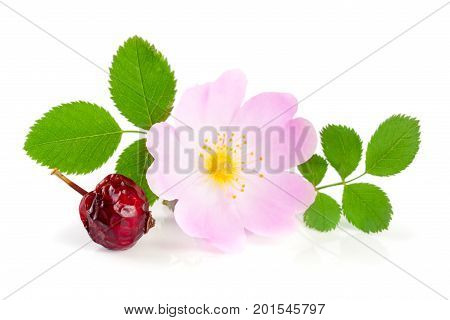 Rosehip flower and berry with leaf isolated on white background,