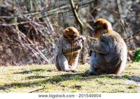 Two Small berber monkeys on the meadow