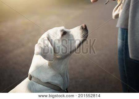 cute young white labrador retriever dog puppy sits in front of woman expecting a reward during training