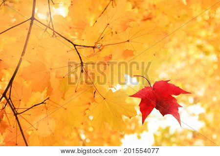 Single bright red dry maple leaf falling down from golden tree viewed upwards. Golden autumn time background.
