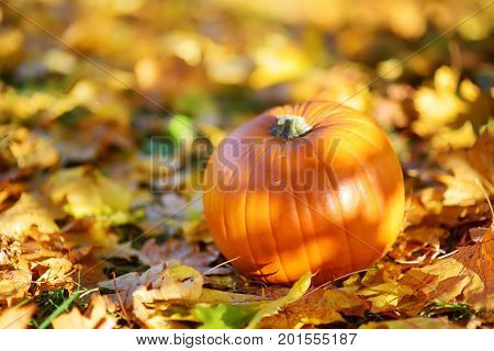 Big orange pumpkin laying on the ground covered with autumn leaves on sunny autumn day