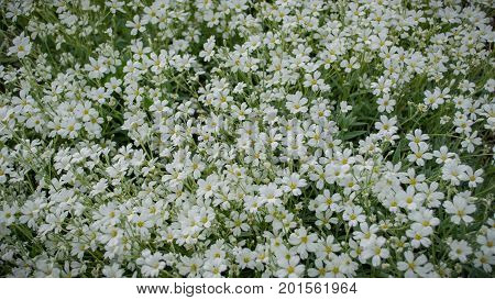 Flowerbed. White flowers all over the picture with green in the background