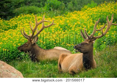 Two bull elk with velvet antlers in a green field with yellow flowers