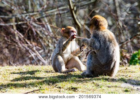 Two Little Berber monkeys fight together in the zoo