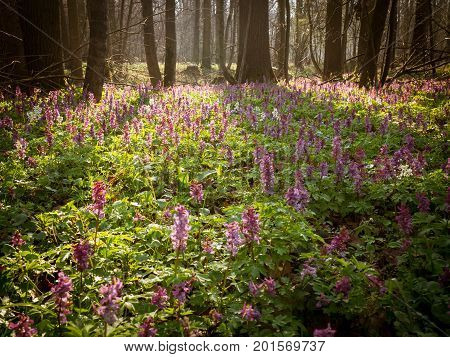 Spring forest in Litovelske pomoravi with blooming Corydalis cava flowers Czech Repbublic