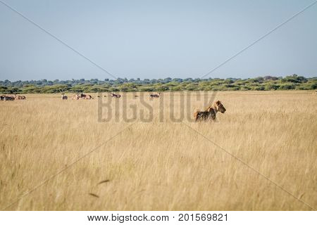 Lion Standing In The High Grass In Front Of Oryx.