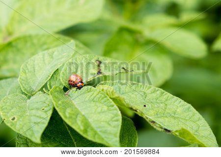 The red colorado beetle's larvae feeding on the potato leaf