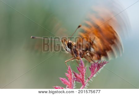 Boloria dia butterfly flying up from plant in nature