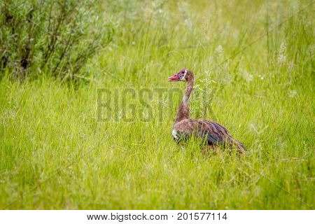 Spur-winged Goose Standing In The Grass.