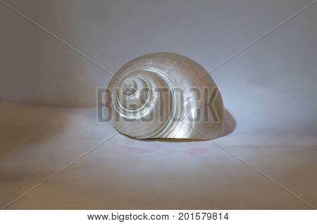 shiny sea shell made of snail case