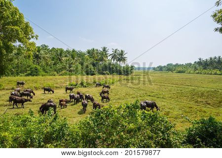 Herd of domestic Asian water buffalo near the village Weeraketiya  in the southern Province of Sri Lanka. Mostly crossbreeds or breeds from Murrah and Nili Ravi buffalo. Mainly for dairy use
