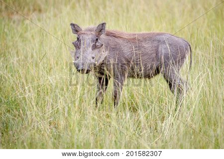 Warthog Standing In Between The High Grasses.
