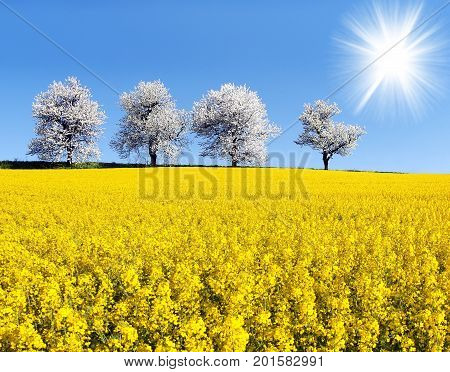 field of rapeseed canola or colza in latin Brassica Napus sun and alley of flowering cherry trees - rape seed is plant for green energy and oil industry - spring time view