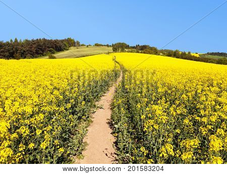 Field of rapeseed canola or colza in Latin Brassica napus with path way rape seed is plant for green energy and green industry springtime golden flowering field