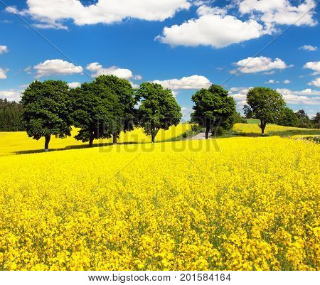 Field of rapeseed canola or colza in Latin Brassica napus with path way and beautiful cloudy sky rape seed is plant for green energy and green industry springtime golden flowering field