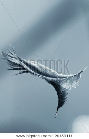 beautiful floating swan feather (very clear)
