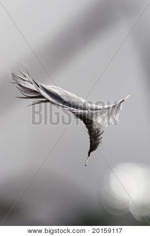 swan feather floating with reflection (very clear)