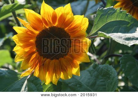 Luminous Sunflower