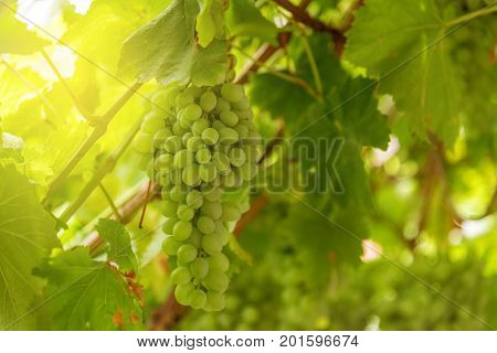 Viticulture At Sunset - White Grapes Hanging In Vineyard