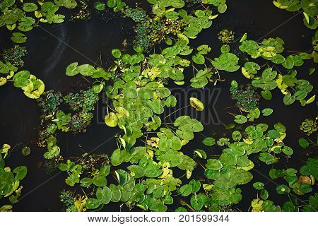 Dark water texture with water lilies duckweed and other vegetation on the water