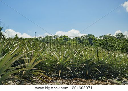 Big Pineapple Farm