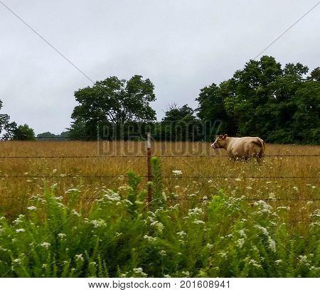 cow, grazing in flower, grass field, typical Iowa roadside landscape
