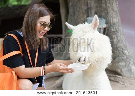 Llama or Alpaca (Vicugna pacos) Close up photograph of a asian women feeding white alpaca with happy and smile face