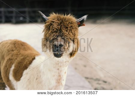 Llama Or Alpaca (vicugna Pacos), Close Up Photograph Of A Brown And White Alpaca
