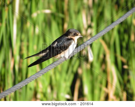 a young barn swallow perched on a wire cable. poster
