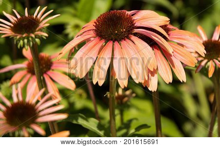 Pink echinacea coneflowers bloom with green background
