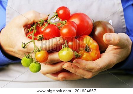 Fresh Organic red , yellow, orange and green tomato . Colorful organic tomatoes in farmers hands .