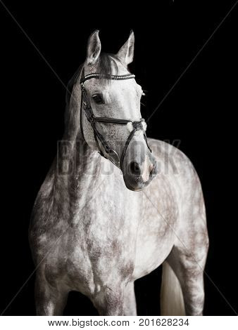 White Riding Horse Against Black Background