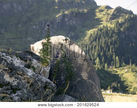 Detail of stone with herb, flower. Scenic Alpine rocky alpine valley of Sportgastein in summer. Picturesque mountain pasturelands, great mountain massif, sunny weather. Sport hiking nature background.