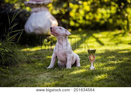 White Bull Terrier Puppy on the Grass
