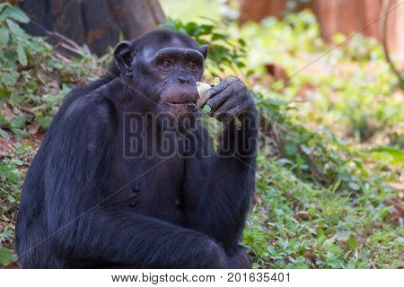 Giant chimpanzee monkey eating banana in the forest.
