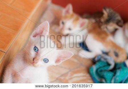 blue eye white kitten staring at camera over blur other kitten