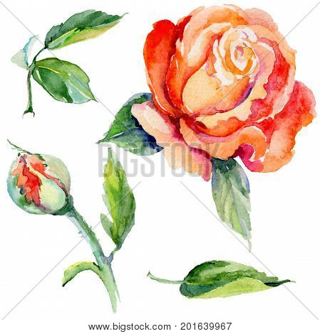 Wildflower rose flower in a watercolor style isolated. Full name of the plant: rose. Aquarelle wild flower for background